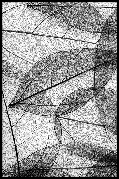 Black Leaves Botanical Juliste