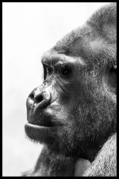 Gorilla Portrait Black & White Juliste