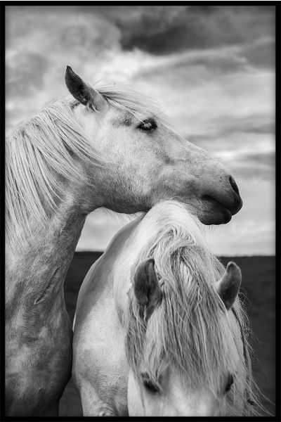 Horses in Scotland Portrait Juliste