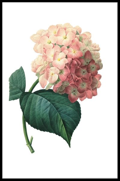 Hortensia Flower Juliste