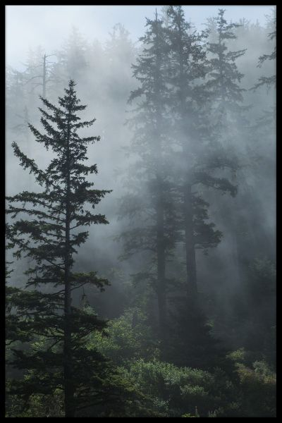 Fog in Evergreen Forest Juliste