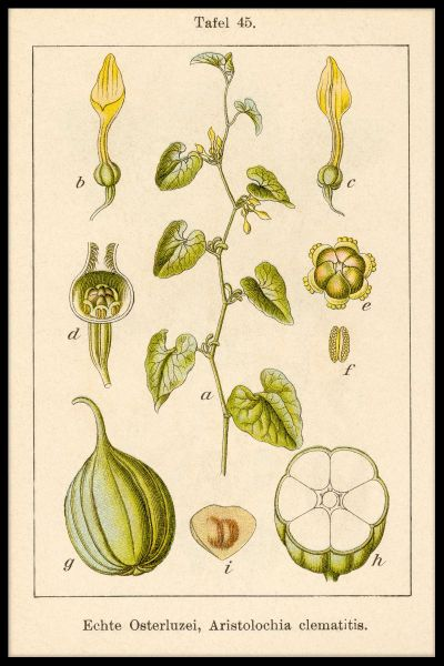 Antique Flower Illustration Birthwort Juliste