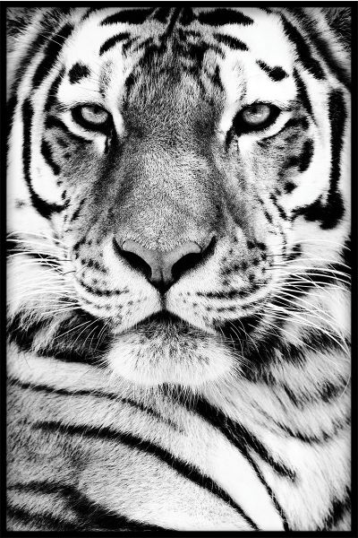 Siberian Tiger Portrait Juliste