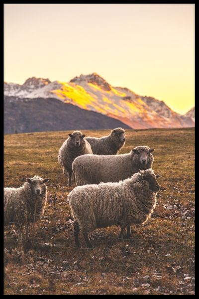 New Zealand Sheep Juliste
