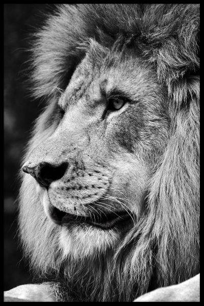 Lion Portrait N03 Juliste