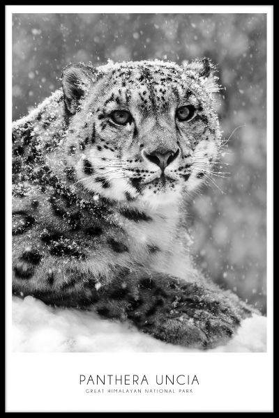 Snow Leopard Juliste