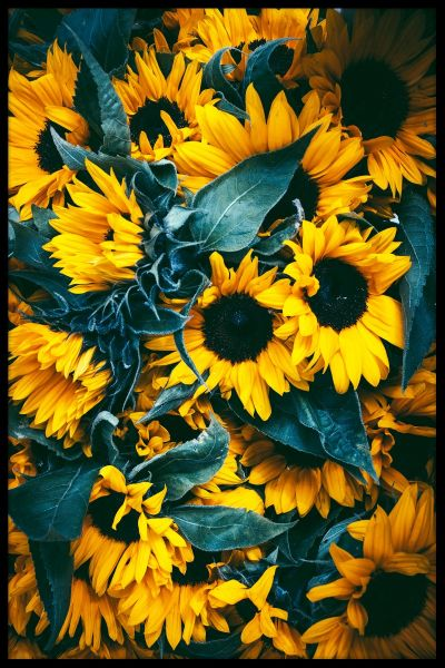 Sunflowers Juliste