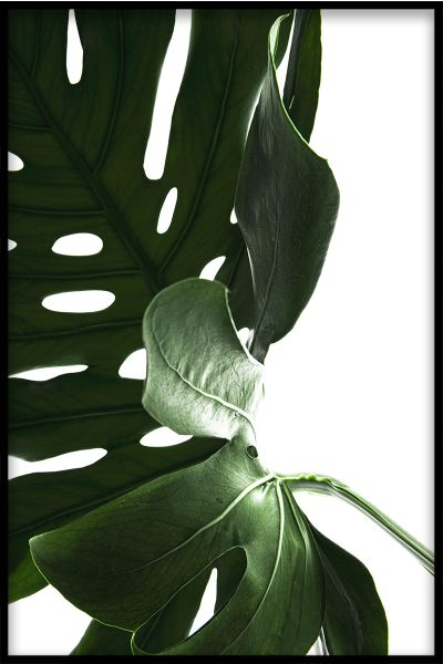 Monstera Close Up N03 Juliste