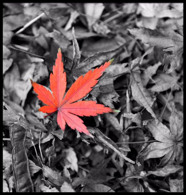 Red Maple Leaf Juliste