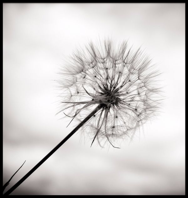 Beautiful Black and White Dandelion Juliste