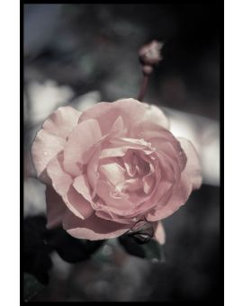 Peach Rose Juliste