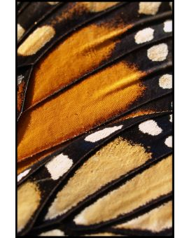 Butterfly Wing Juliste
