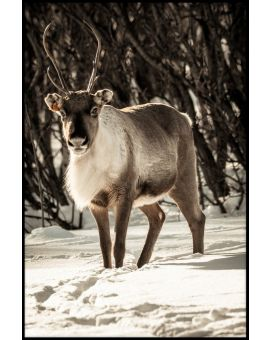 Reindeer in Snow Juliste