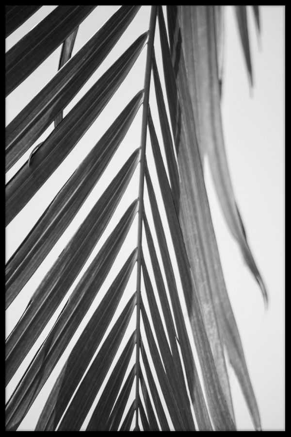 Palm Leaf Black & White N03 Juliste