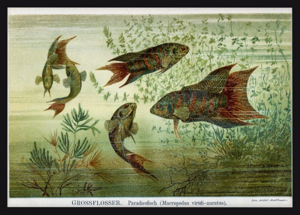 Fish Lithography 1895 Juliste