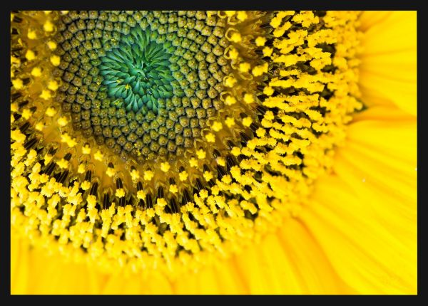 Sunflower Close Up Juliste