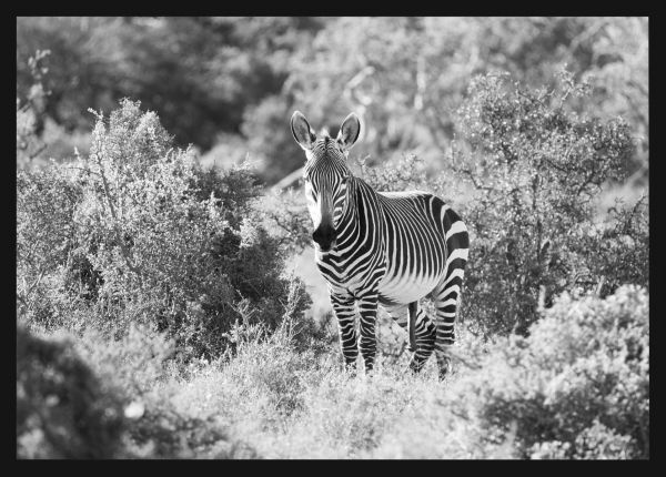 Wild Zebra in South Africa Juliste