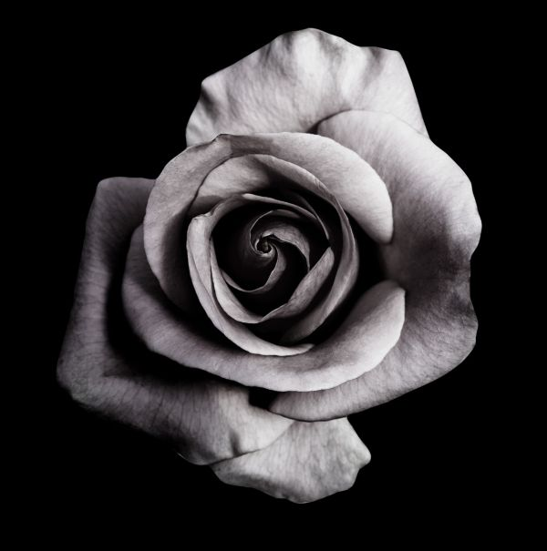 Rose on Black Juliste