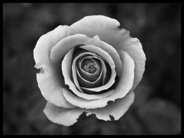 White Rose In Black and White Juliste