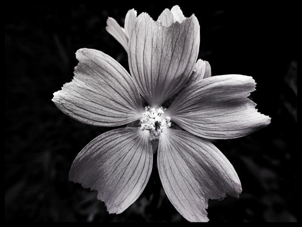 Black and White Flower Juliste
